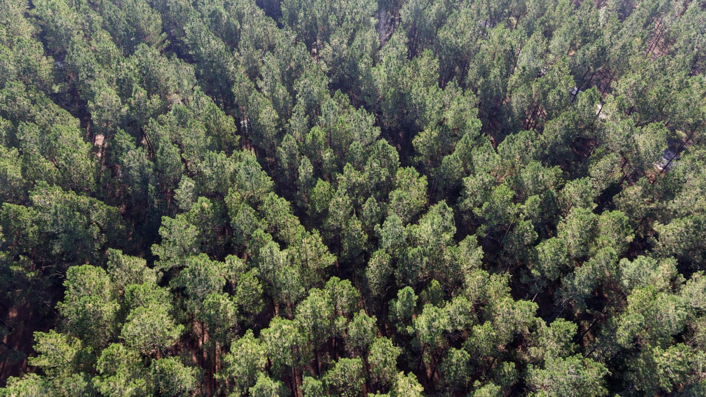 Aerial of tree farm