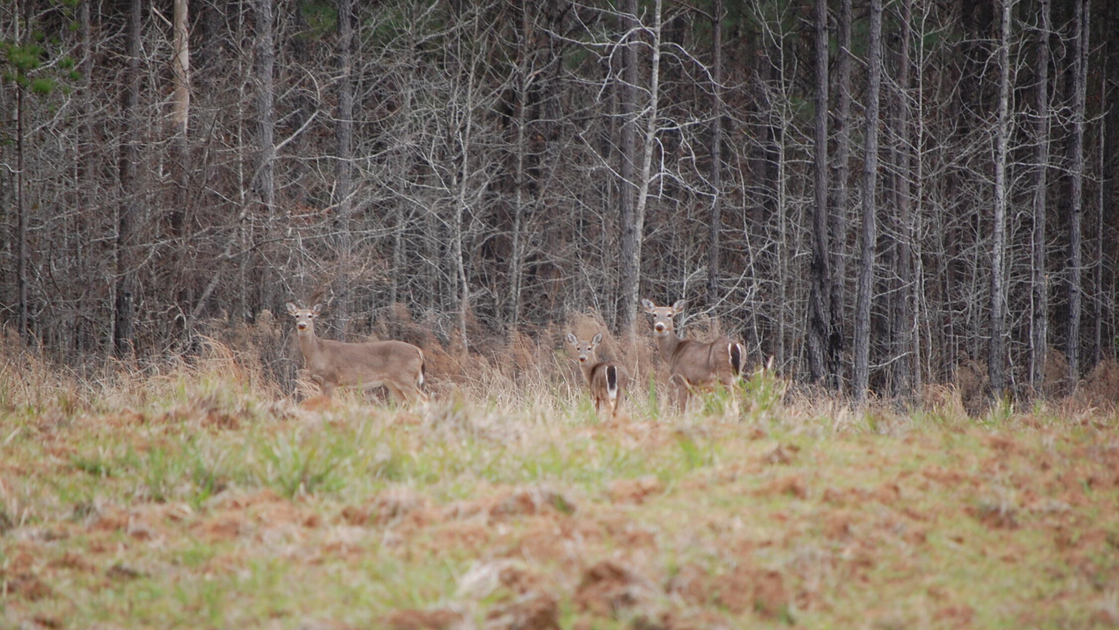 Deer stand in a clearing in front of a forest