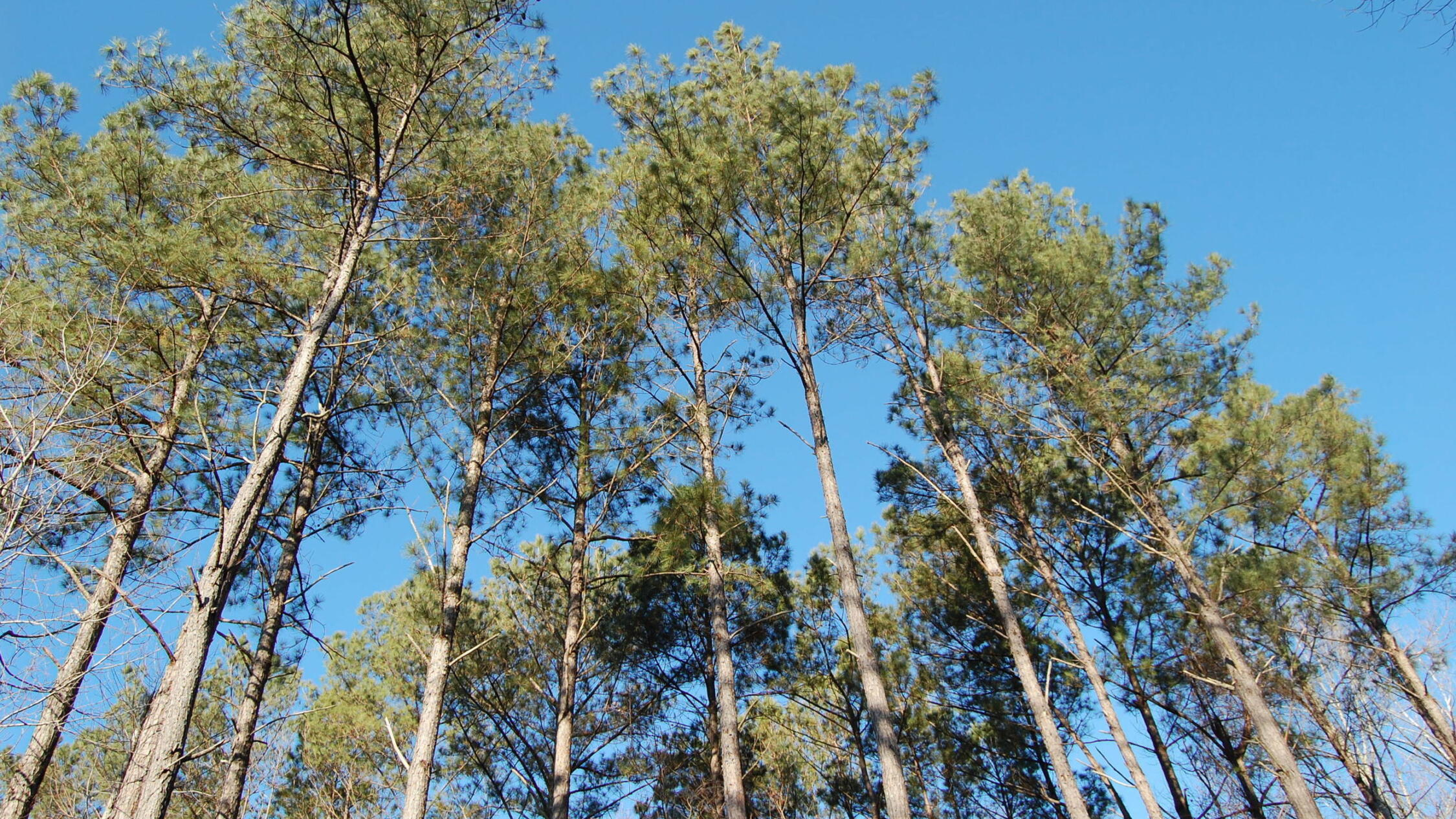 View looking up into trees under a blue sky