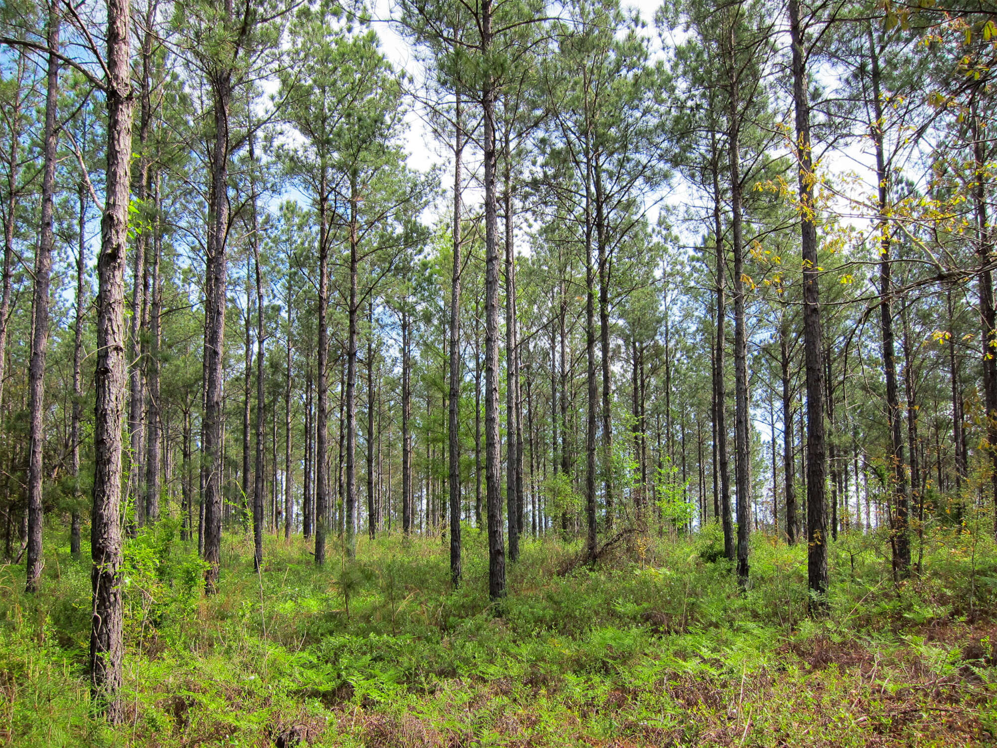 View from inside timber tract with forest of young pine trees